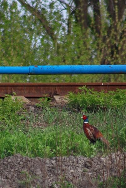 По Горловке гуляют фазаны (ФОТОФАКТ)