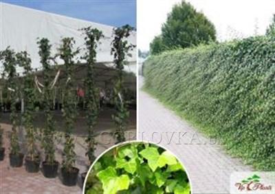 С вьющимися растениями весенний сад станет неповторимым