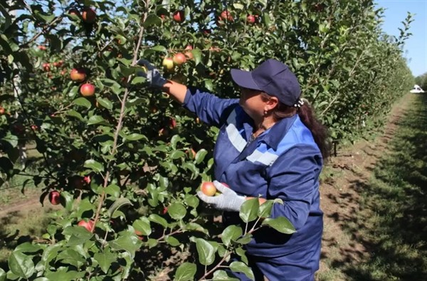 В «ДНР» рекордный урожай яблок. Что с ним делать - никто не знает