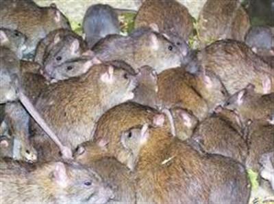 В Горловке по подъездам бегают крысы, а лестничные пролеты  затапливает водой