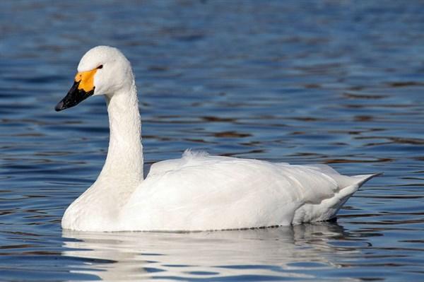 В Горловке на одном из водоемов поселилась пара лебедей