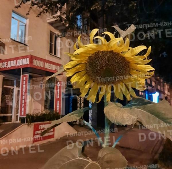 В центре Донецка начали расти подсолнечники (ФОТОФАКТ)