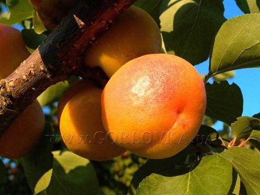 """Купить саженцы плодовых деревьев легко: закажите на сайте лучшего садового центра  """"Greensad"""""""