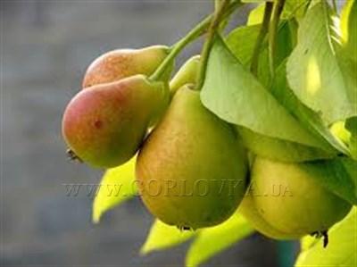 Саженцы, которые порадуют сочными плодами