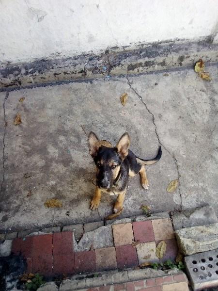 В Горловке хозяева разыскивают 6-месячного щенка породы немецкая овчарка