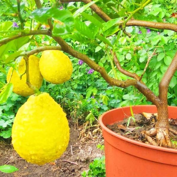 Павловский лимон: особенности выращивания